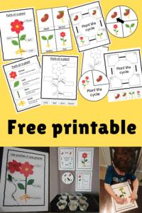 plant life cycle free printable